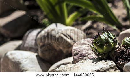 small succulent garden plant between the stones closeup