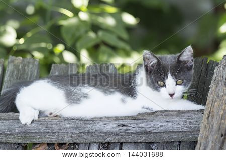 Charming grey-white kitten lying on the fence summer day