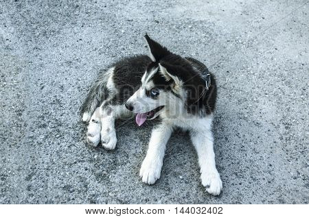 Tired puppy Husky with tongue sticking out, rests on the road