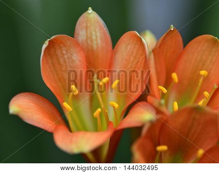 Close up over an light orange lily