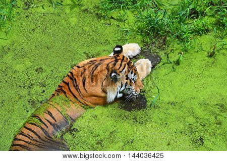 An Amur tiger soaking in the water