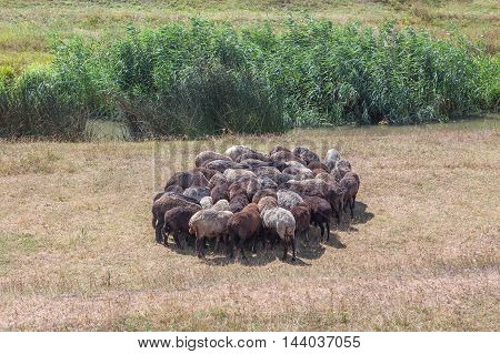 flock of sheep stood in a circle to escape the heat