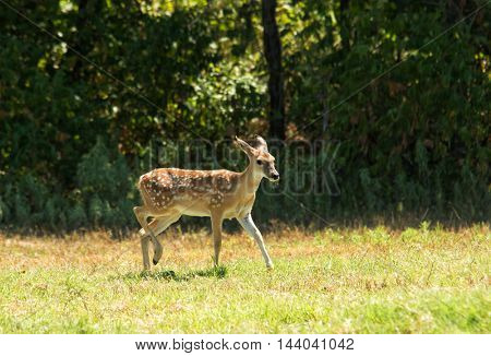 White-tailed Deer fawn in a sunny pasture against dark woods