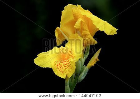 Close up of Yellow Canna flower in black background