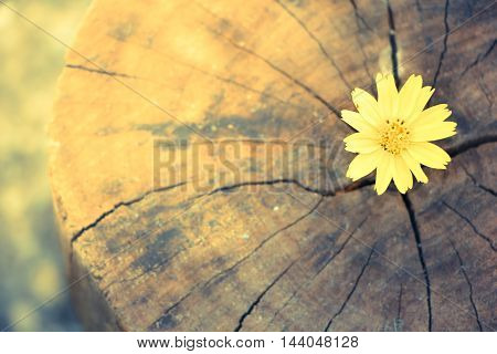 Closeup Singapore Daisy Flower With Wood Background