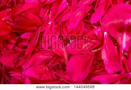 Background from petals of peonies purple abstract