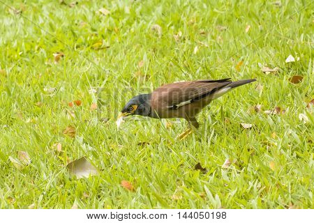 Myna Eat The Bread