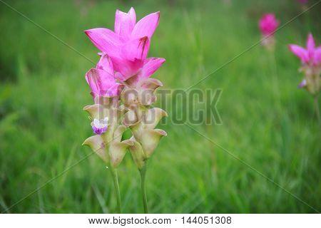 Siam tulip in natural park at Loei Province