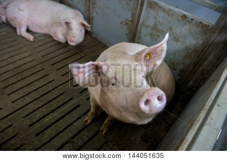 pig in pig sty on arganic farm
