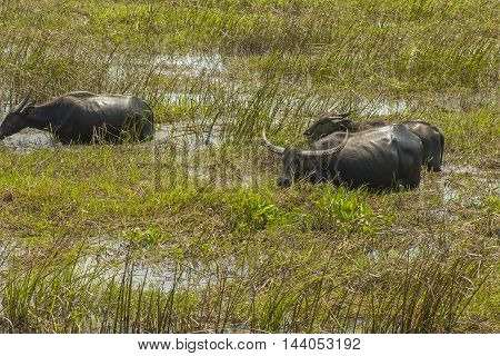 Water Buffalo masses in Wetland at Talay Noi, Phatthalung Province in Southern Thailand