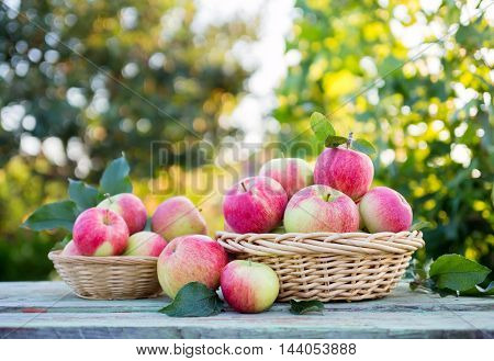 Organic apples in a baskets on the background of the garden