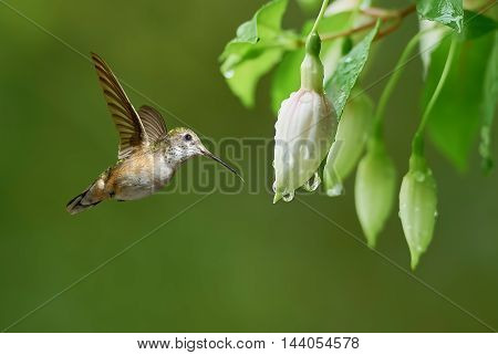 Hummingbird over blurred green summer background with white flowers