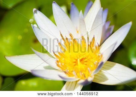 white lotus flower full bloom a beautiful