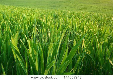Green grass texture. Nature composition.