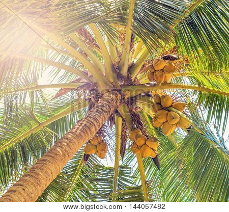 Coco On Coconut Tree