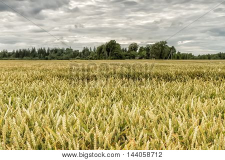Gold Grains Before Harvest In Autumn