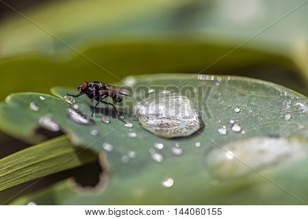 fly on a wet green leaf after the rain storm outdoor macro closeup