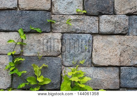 Stone wall background with a climbing plant