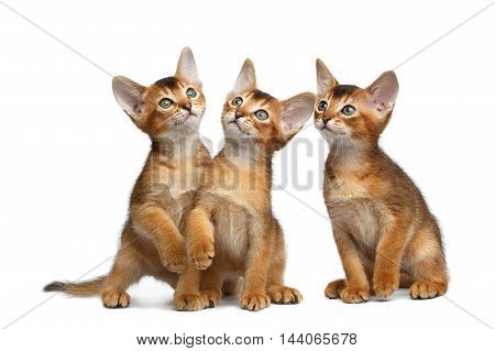 Three Cute Abyssinian Kittens Sitting and Curious Looking up, Stare in Camera on Isolated White Background, Front view, Group games