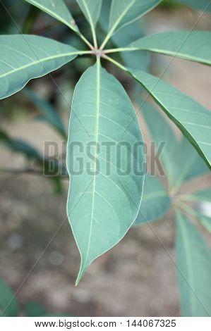 Close up green leaf of Bombax ceiba tree