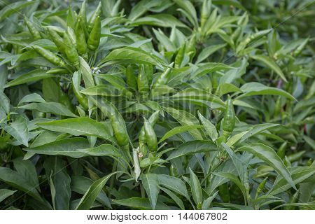 Green Chili Peppers' Plant Cultivation, Food Theme
