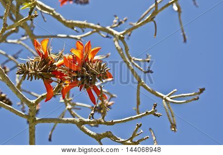 Beautiful coral tree flowers in early spring against a blue sky