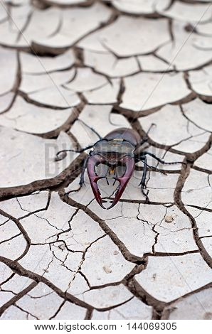 beetle deer on dry ground with cracks