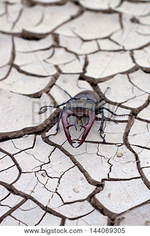 beetle deer on dry ground with cracks
