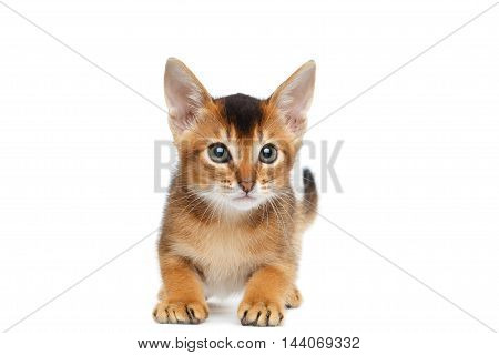 Playful Abyssinian Kitty Looks up and Curious Standing on Isolated White Background, Front view, Raising forward paws