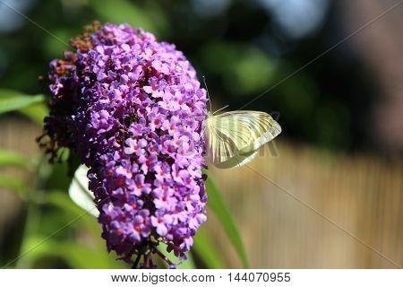 close up on a butterfly bush flower
