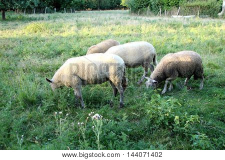 view of a flock of sheep in a field
