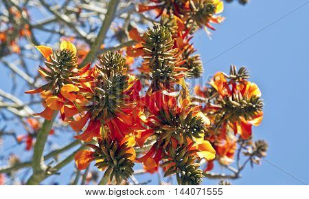 a bunch of coral tree flowers in early spring with a blue sky background
