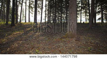 Sunlight peeking through the trees in a forest in Saskatchewan Canada