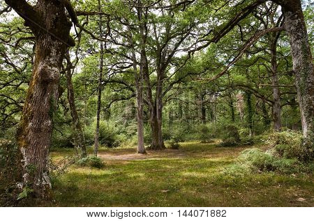 Relict Oak wood in the Forest of Orgi, Navarre, Spain