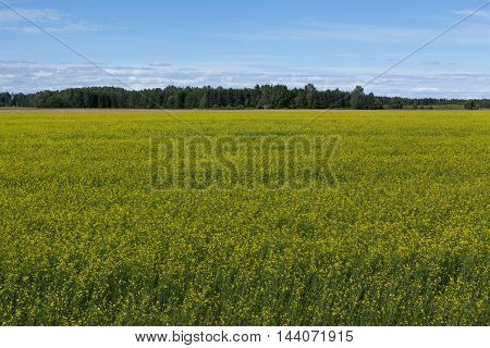 Estonian yellow rural landscape with dramatic blue sky.