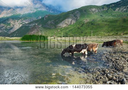 Idyllic landscape Cows on watering at mountain lake