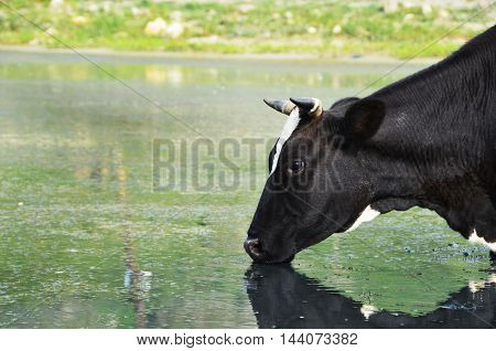 Cow at the watering Cow drinks water from lake close-up