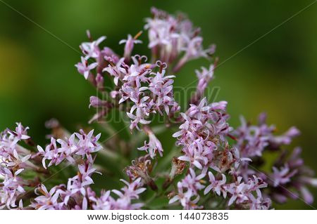 Macro photo of Adenostyles alpine flowers an alpine plant.