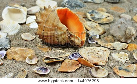 Large clamshell Rapana on background of small shells on sandy seashore