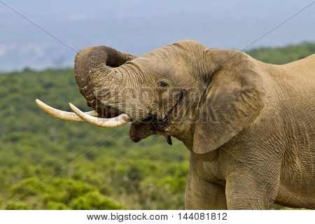 African elephant in must curing its trunk around its ear