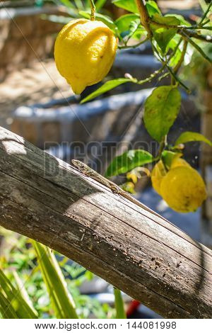 Close-up with yellow lemons and one lizard. Vertical view with lemons on branch tree and small lizard climbing.