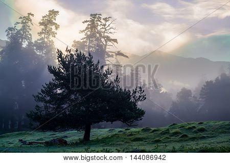 Morning light through the trees on the mountain mist
