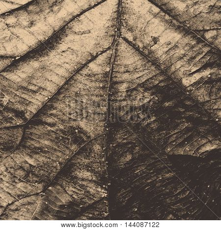 Closeup of dry teak leaf texture pattern. Abstract creative background with filtered color