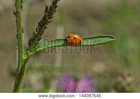 Ladybird on green blade of grass is preparing lunch.