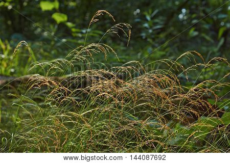 Pigweed Wild grass on a background of the dark forest.