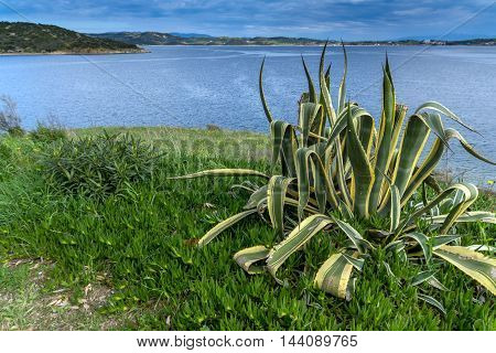 Cactus and view to sea from Ammouliani island, Athos, Chalkidiki, Central Macedonia, Greece
