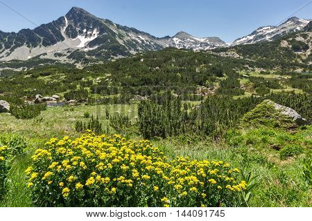 Yellow Flowers and Sivrya peak, Pirin Mountain, Bulgaria