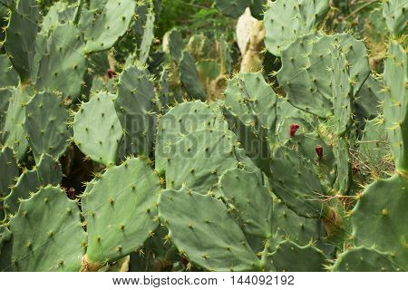 Cactus in Brazilian Beach. Cactaceae. Background photo.