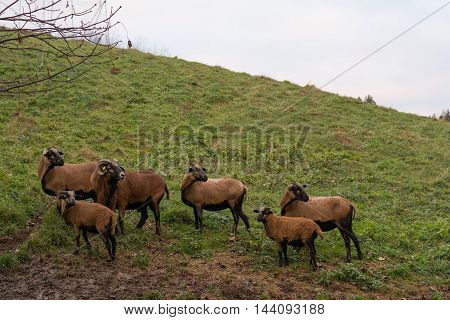 a group mouflon in the pasture looks back together