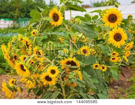 The yellow sunflowers growing in the garden
